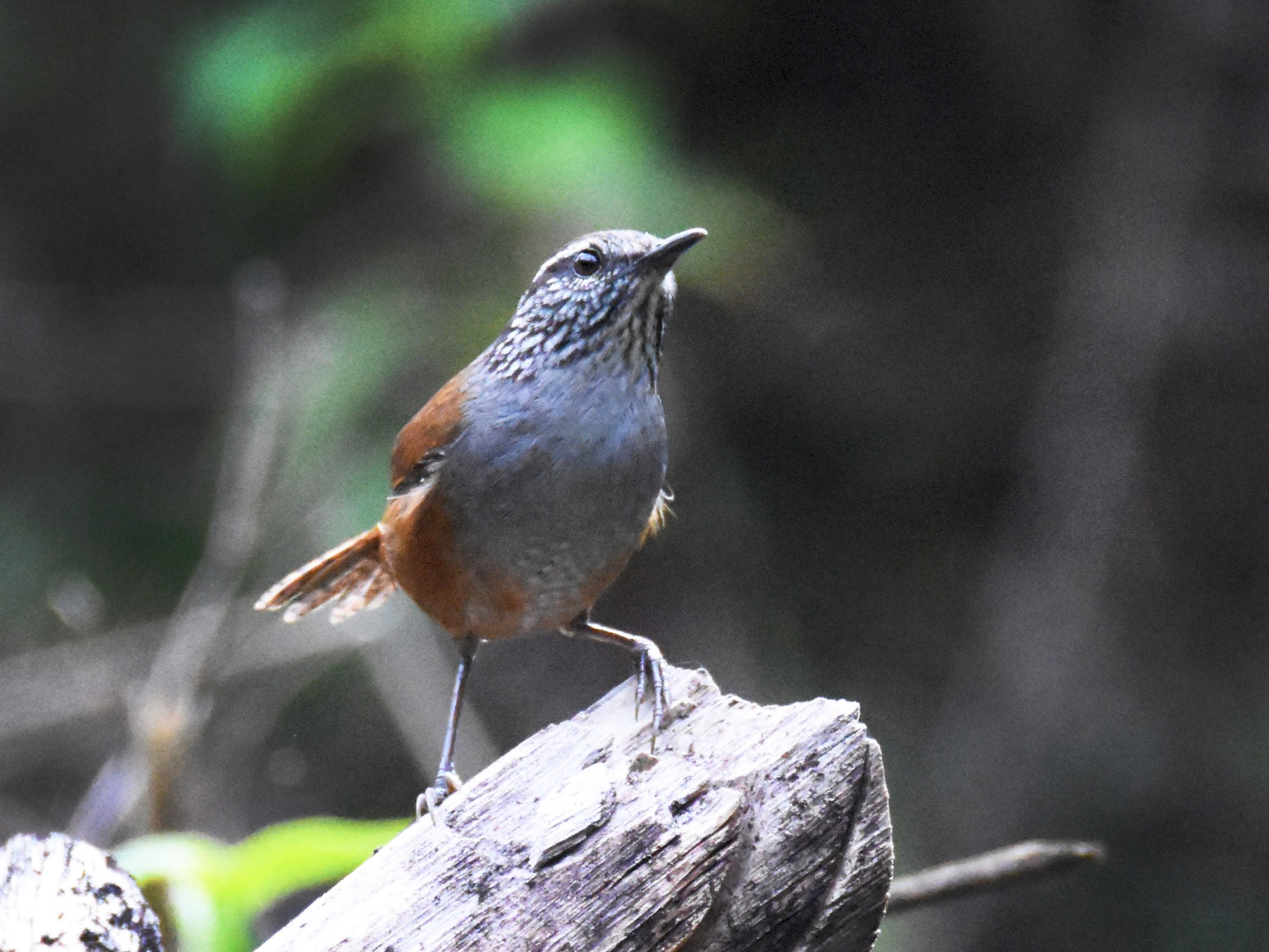 Gray-breasted Wood-Wren - Luke Berg