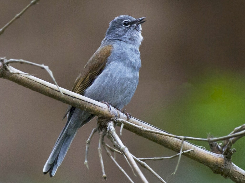 Brown-backed Solitaire - John Cahill xikanel.com