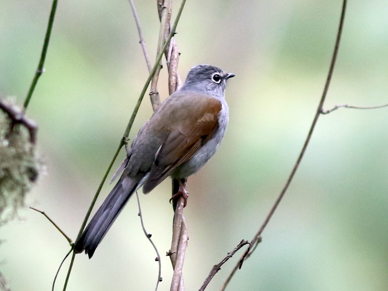 Brown-backed Solitaire - Mark Patry