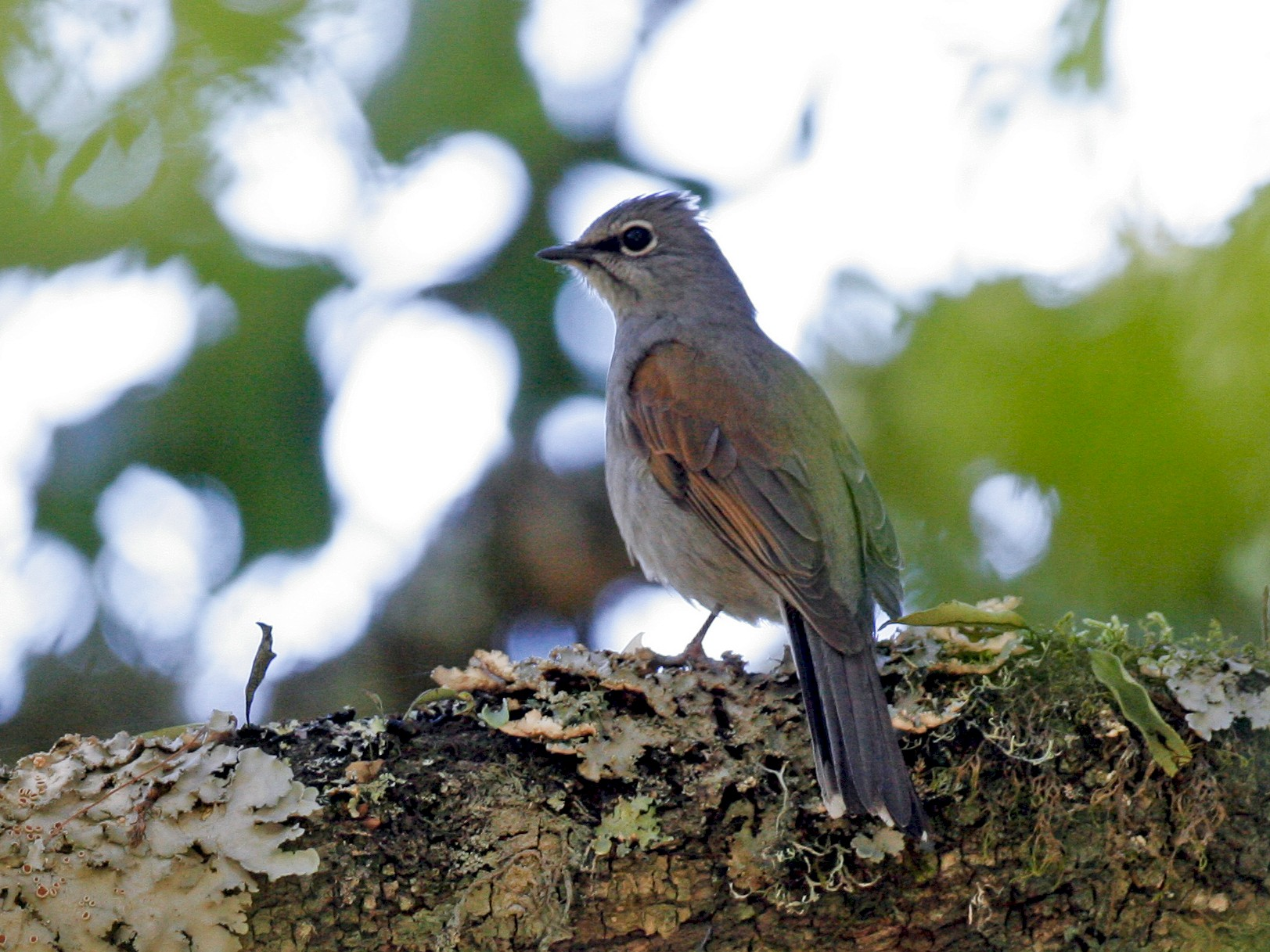 Brown-backed Solitaire - Chris Wood
