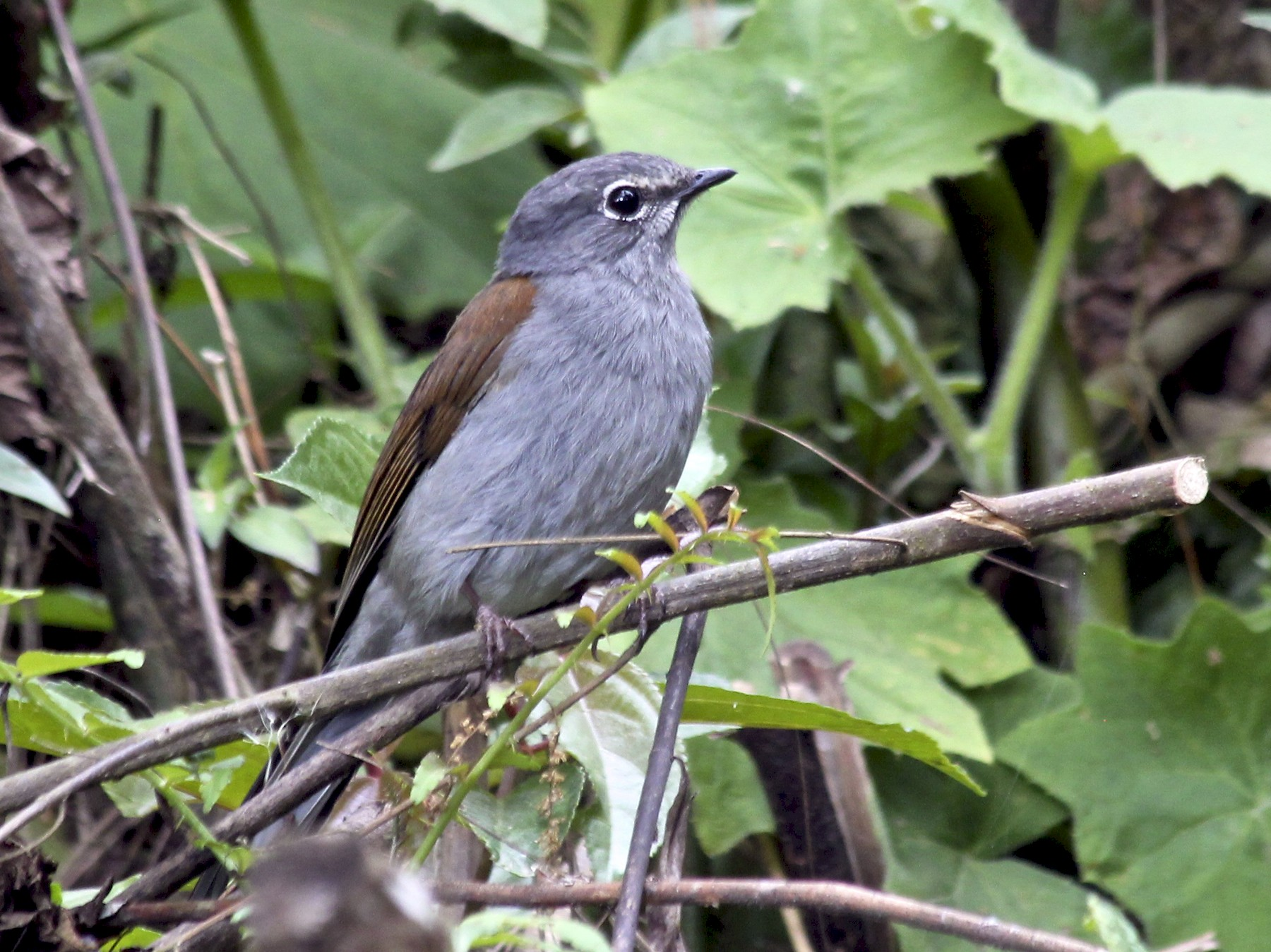 Brown-backed Solitaire - Jessica Johnson