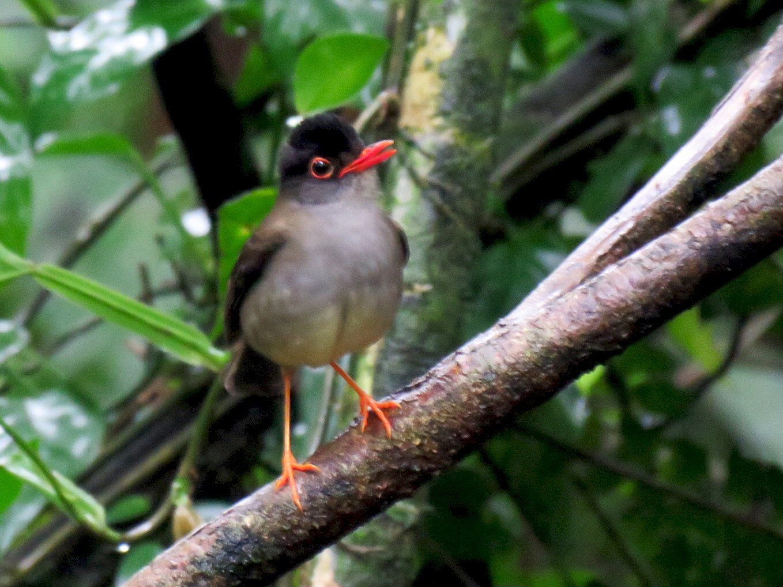 Black-headed Nightingale-Thrush - Alec Humann