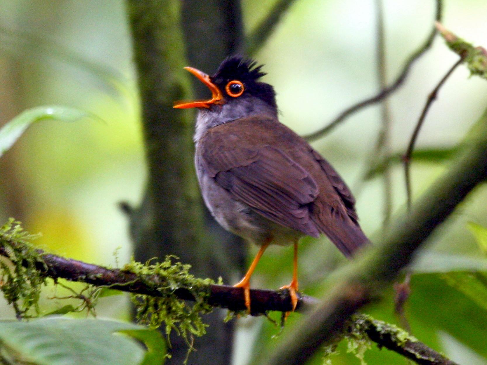 Black-headed Nightingale-Thrush - Michael Woodruff