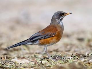 - Rufous-backed Robin