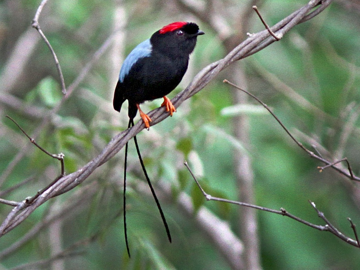 Long-tailed Manakin - Laval Roy
