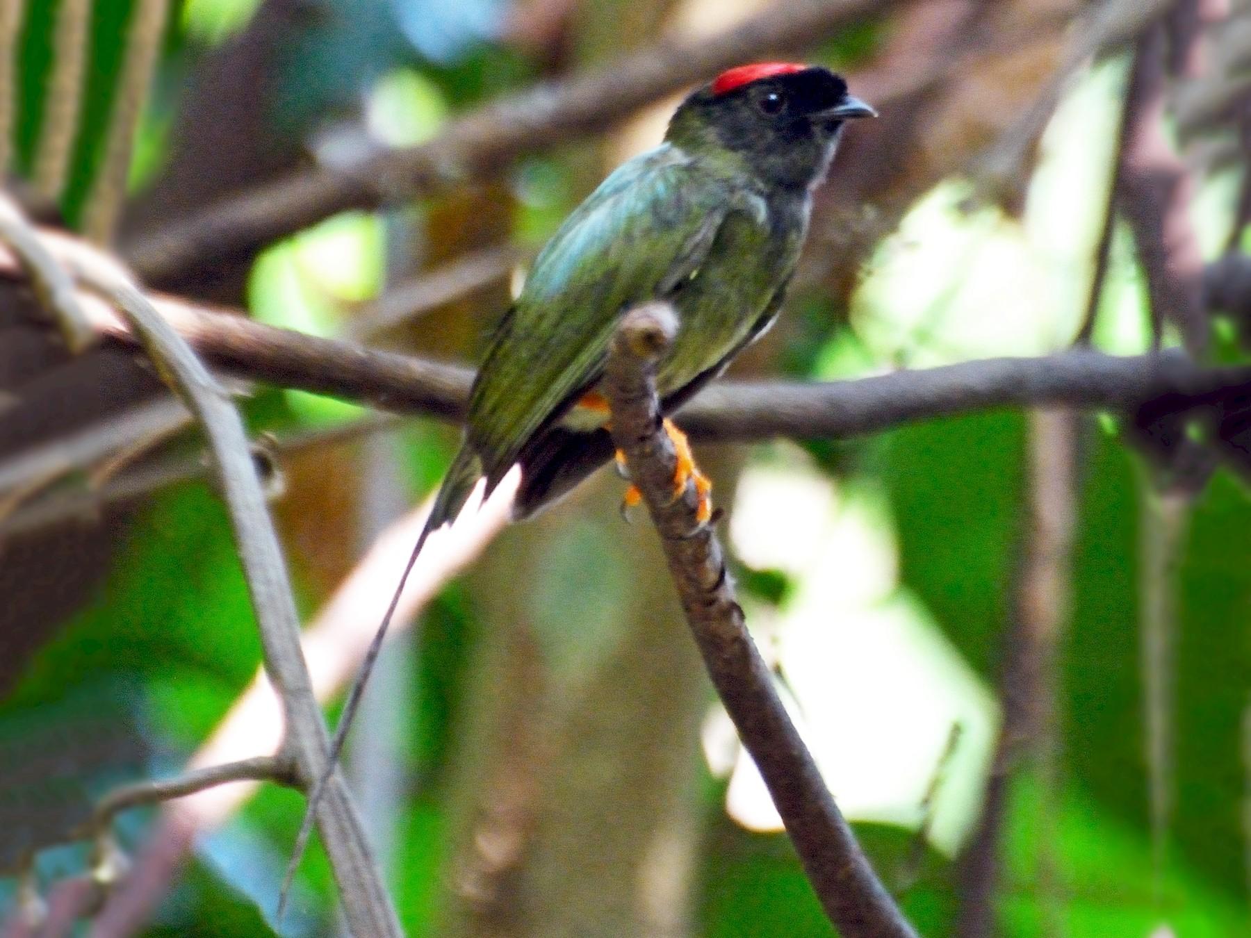 Long-tailed Manakin - Orlando Jarquín