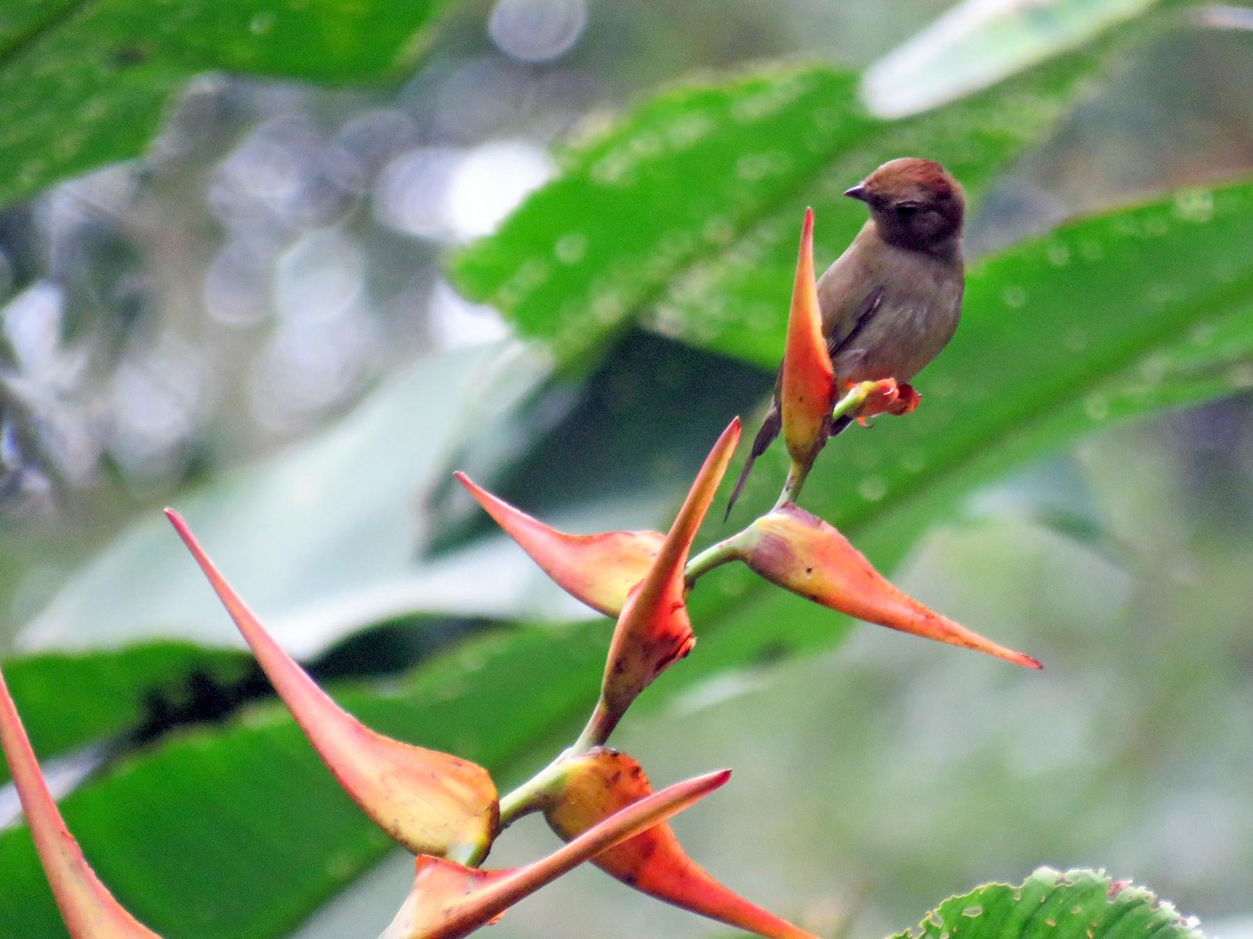 Long-tailed Manakin - Peggy Horton