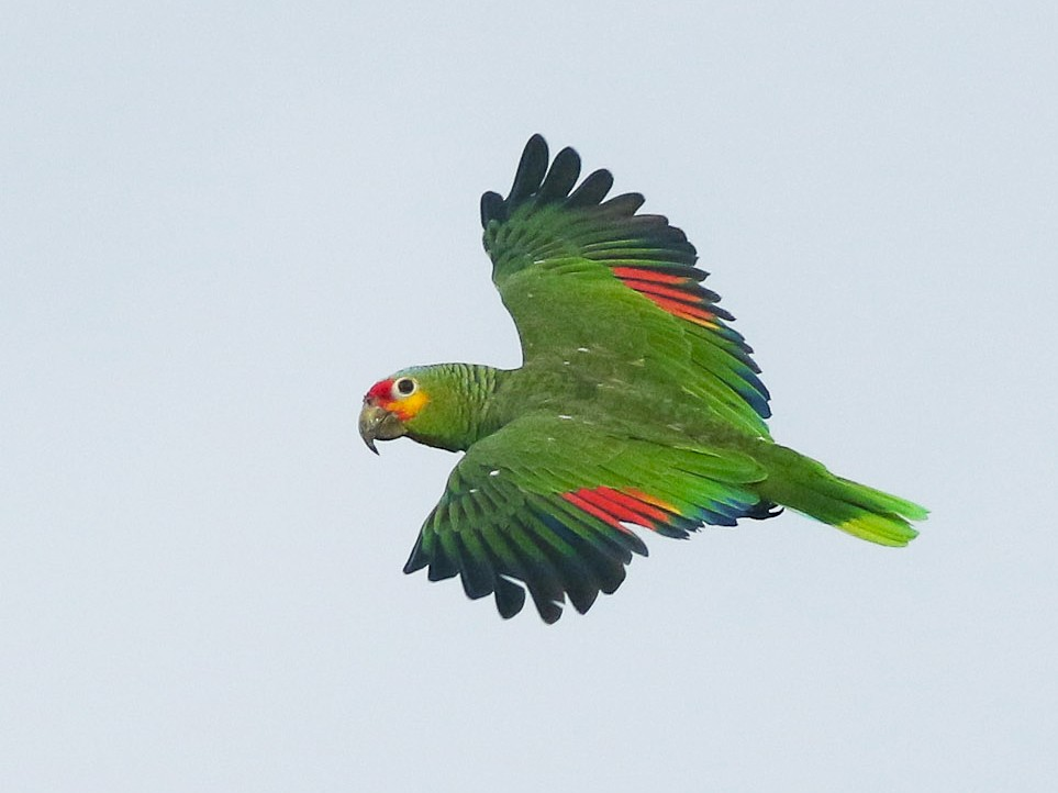 Red-lored Parrot - Michael O'Brien