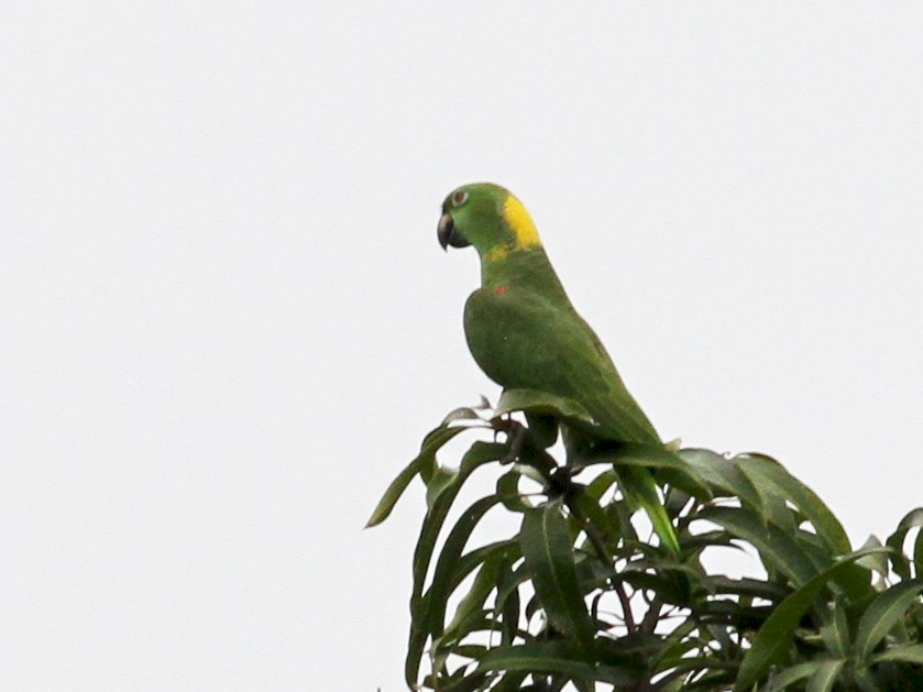 Yellow-naped Parrot - Georges Duriaux