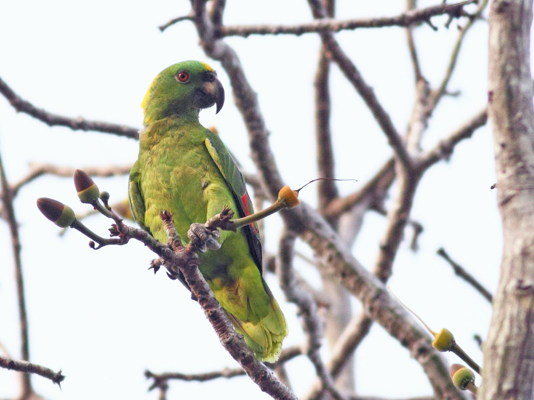 Yellow-naped Parrot - Graham Montgomery