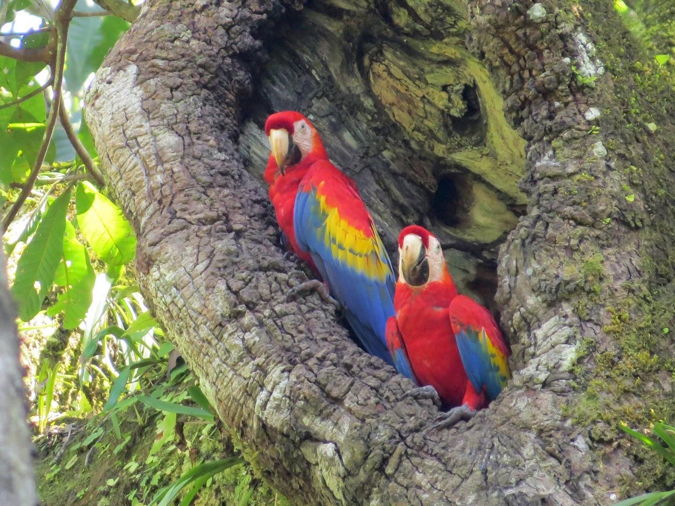 Scarlet Macaw - Róger Rodríguez Bravo