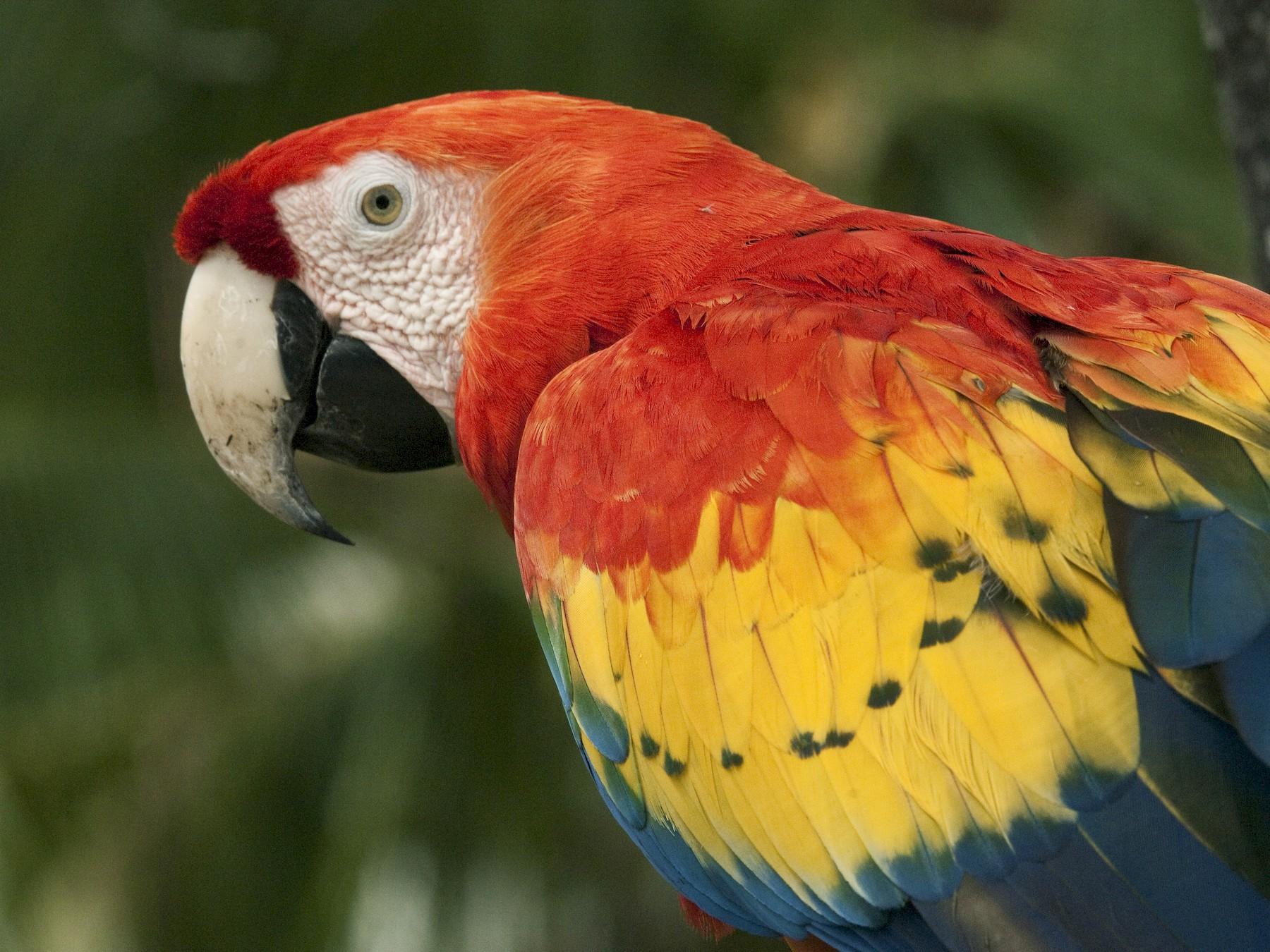 Scarlet Macaw - Ken Langelier