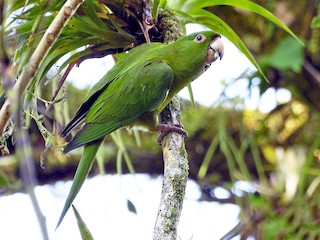 - Pacific Parakeet