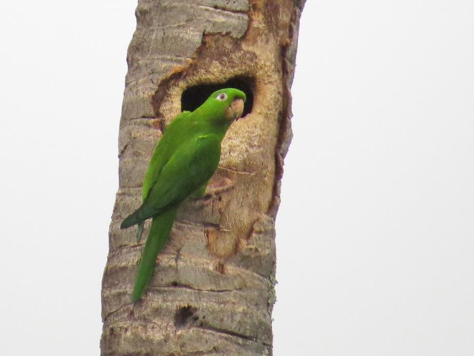 Pacific Parakeet - Róger Rodríguez Bravo
