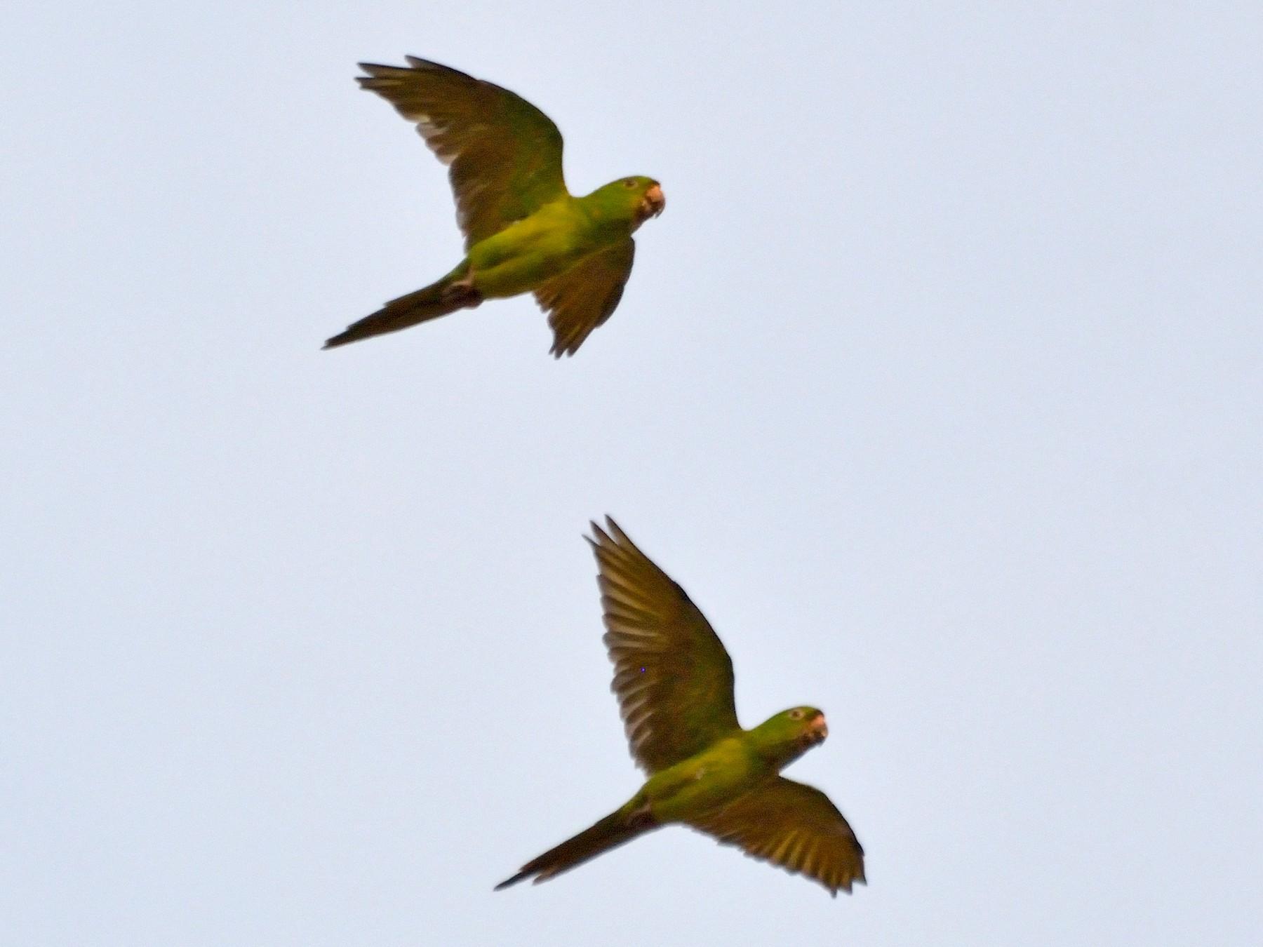 Pacific Parakeet - Orlando Jarquín