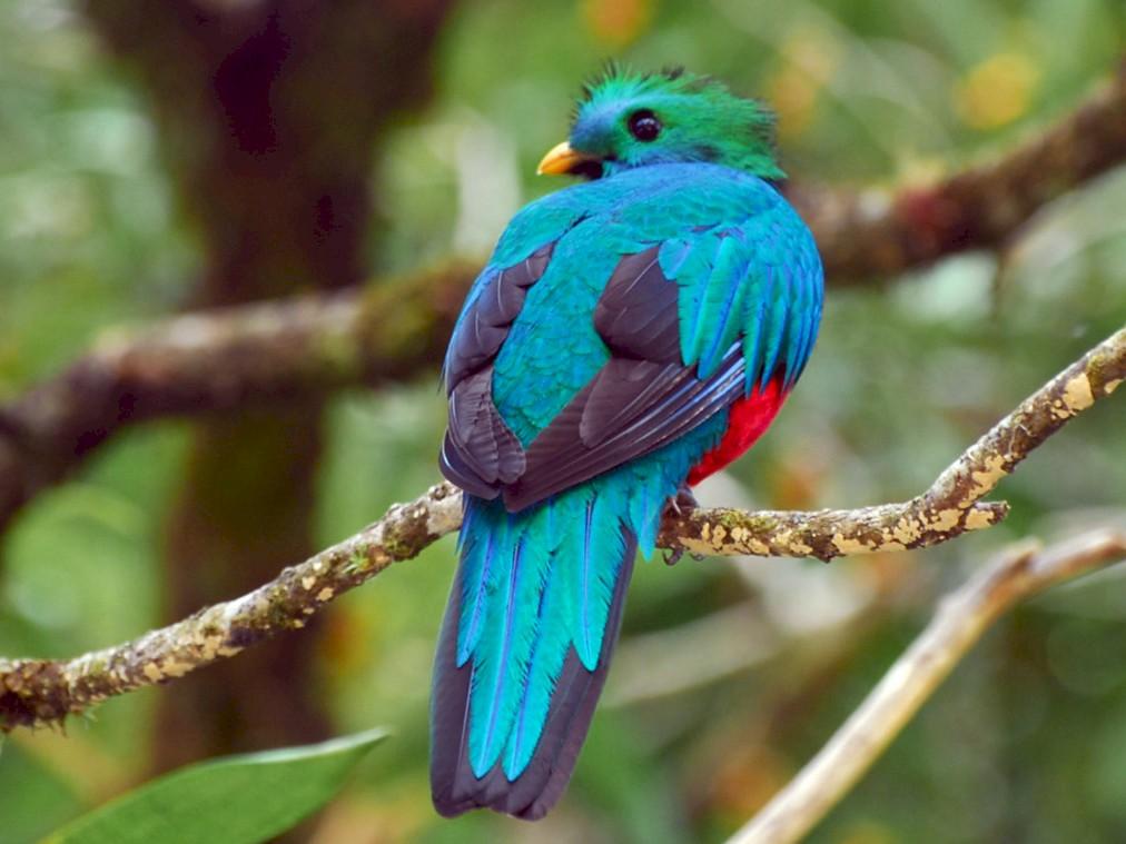 Resplendent Quetzal - Bob Zaremba