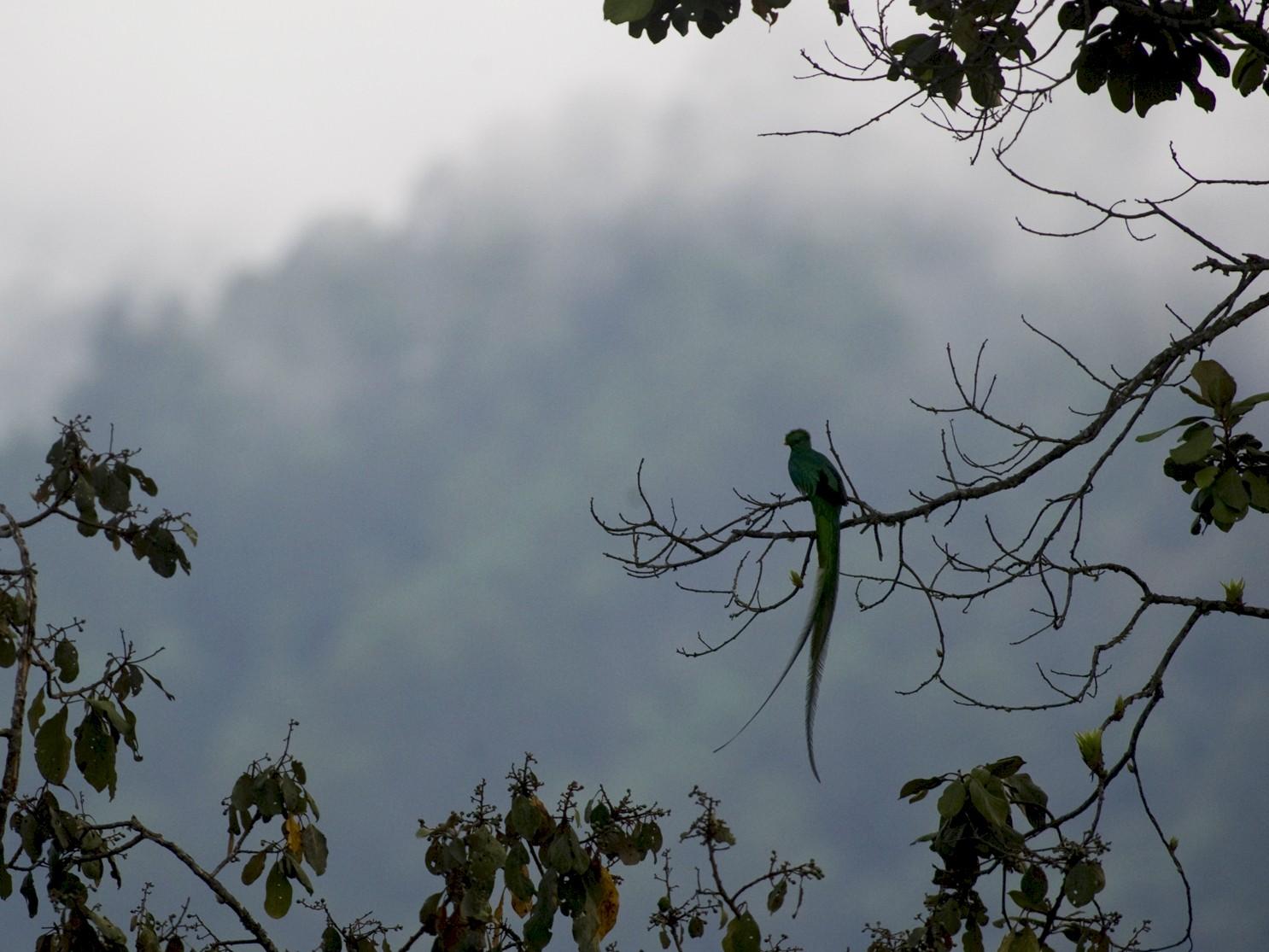 Resplendent Quetzal - John Cahill xikanel.com