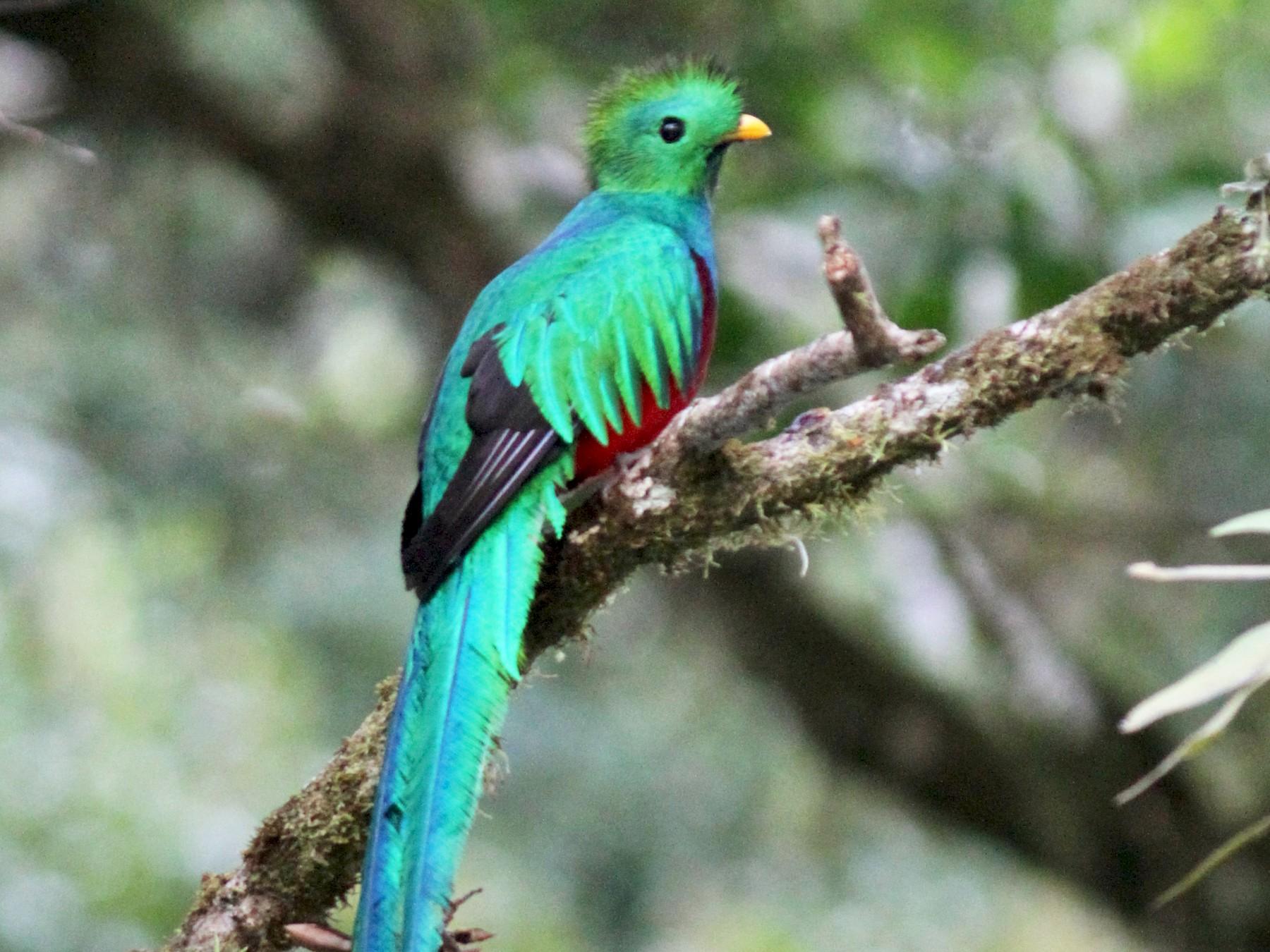 Resplendent Quetzal - Dave Beeke