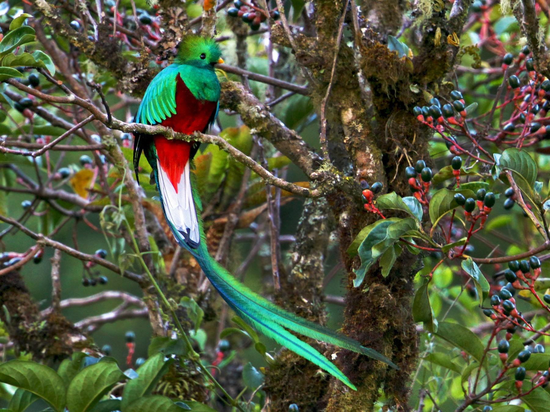 Resplendent Quetzal - Andrew Spencer