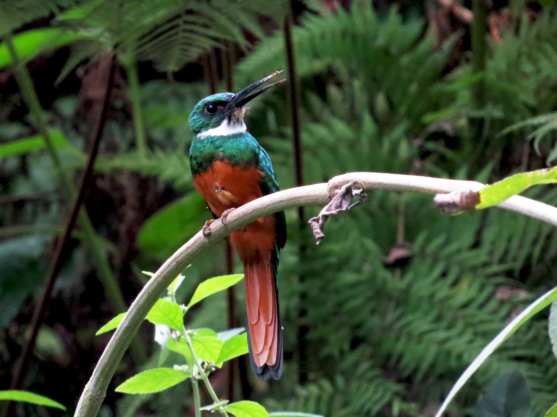Rufous-tailed Jacamar - kenneth reyes