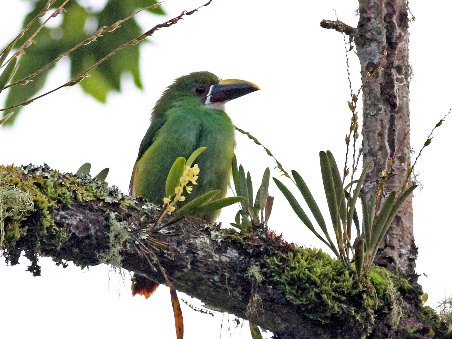 Southern Emerald-Toucanet - Michael McCloy