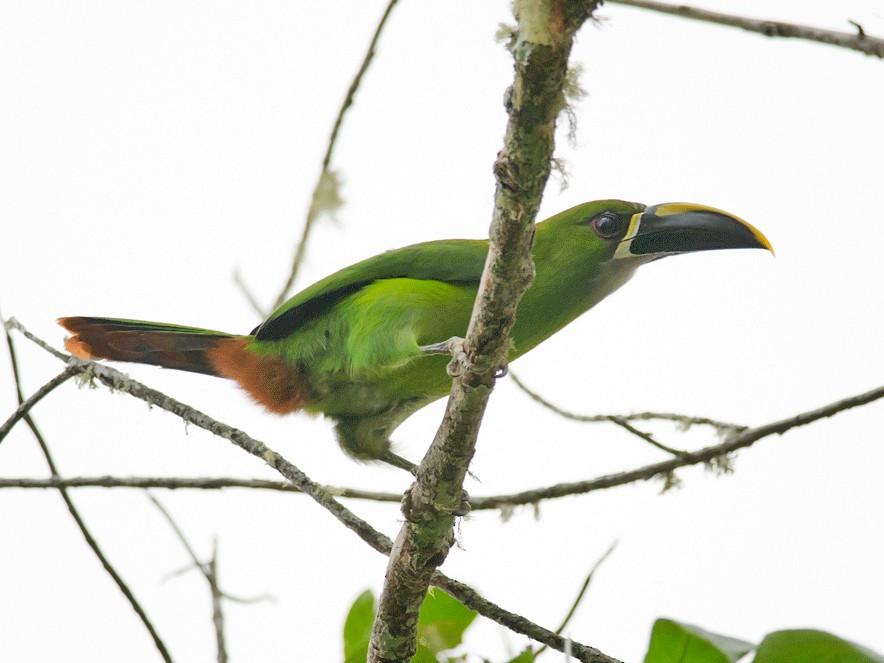 Southern Emerald-Toucanet - Anonymous eBirder