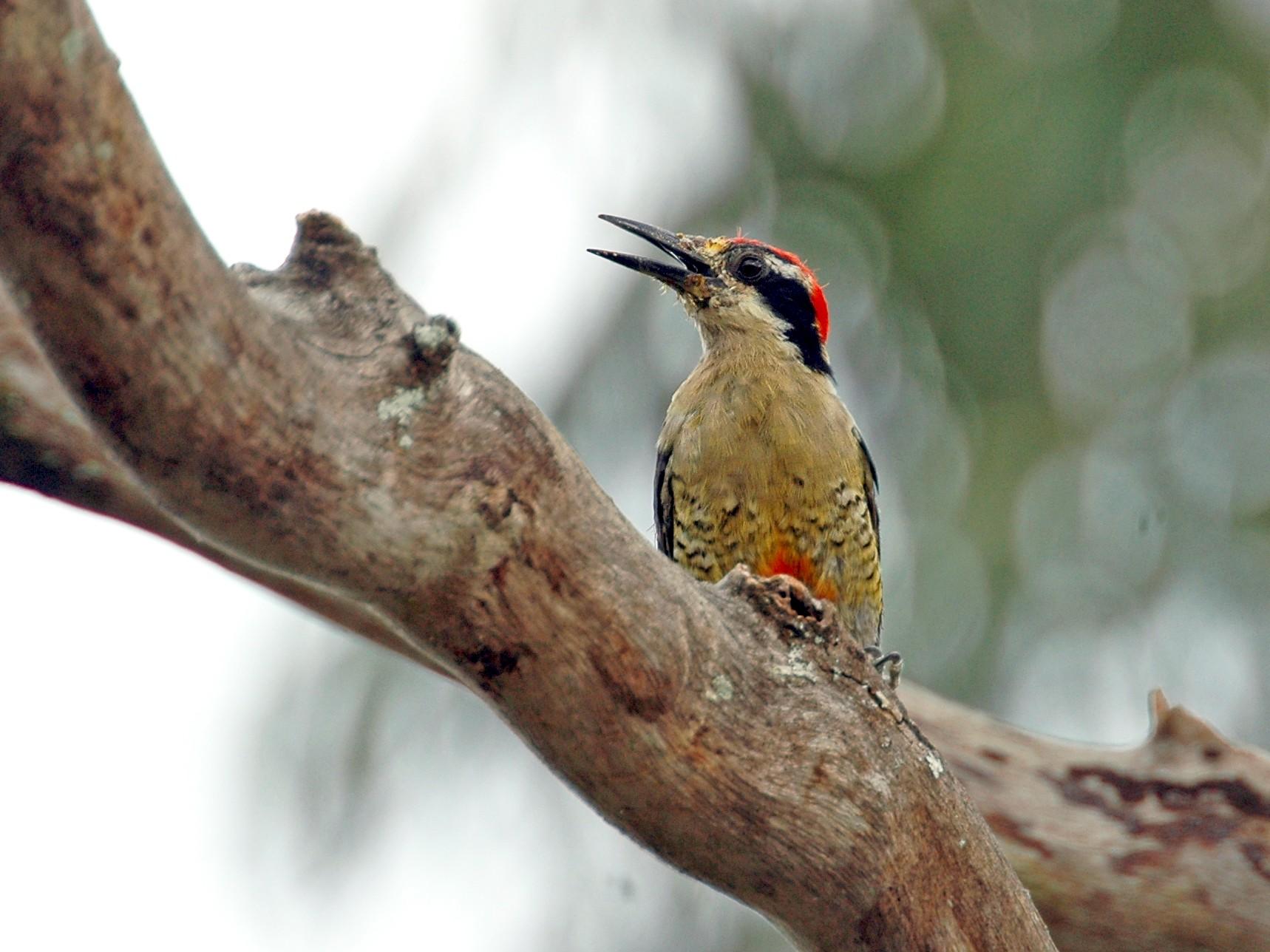 Black-cheeked Woodpecker - Volker Hesse