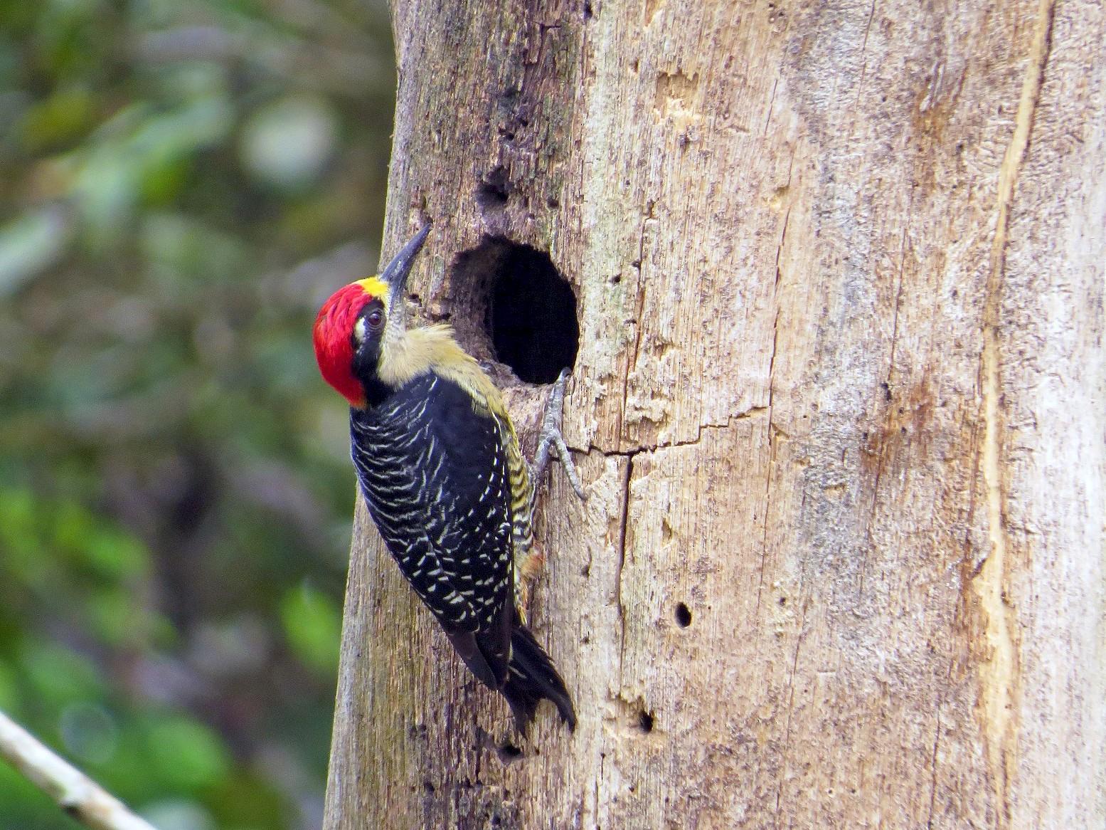 Black-cheeked Woodpecker - Róger Rodríguez Bravo