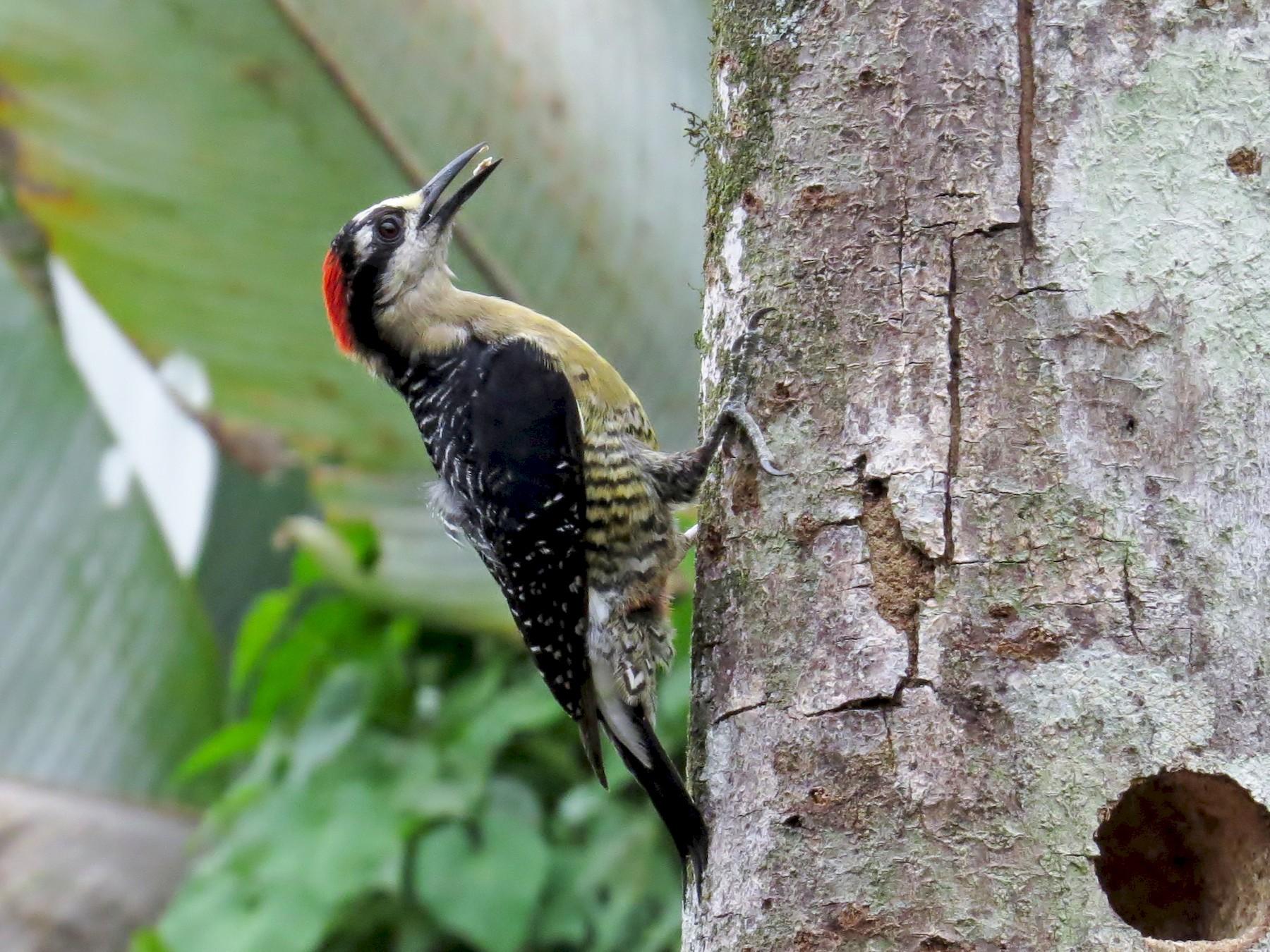Black-cheeked Woodpecker - JoAnn Potter Riggle