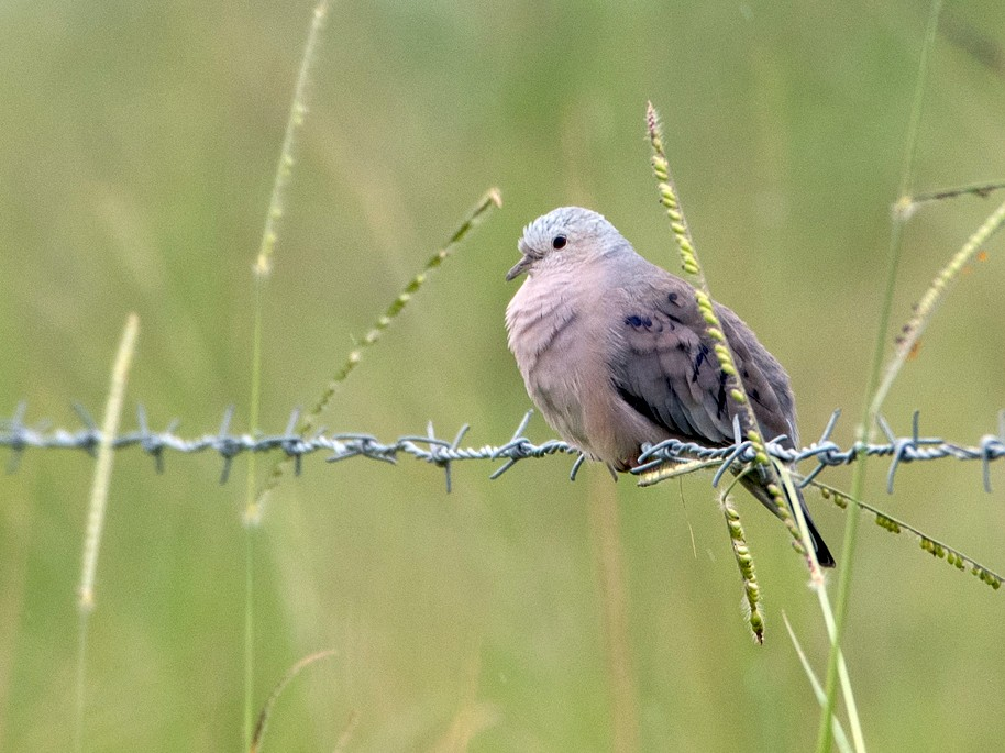 Plain-breasted Ground Dove - Roberto Dall Agnol
