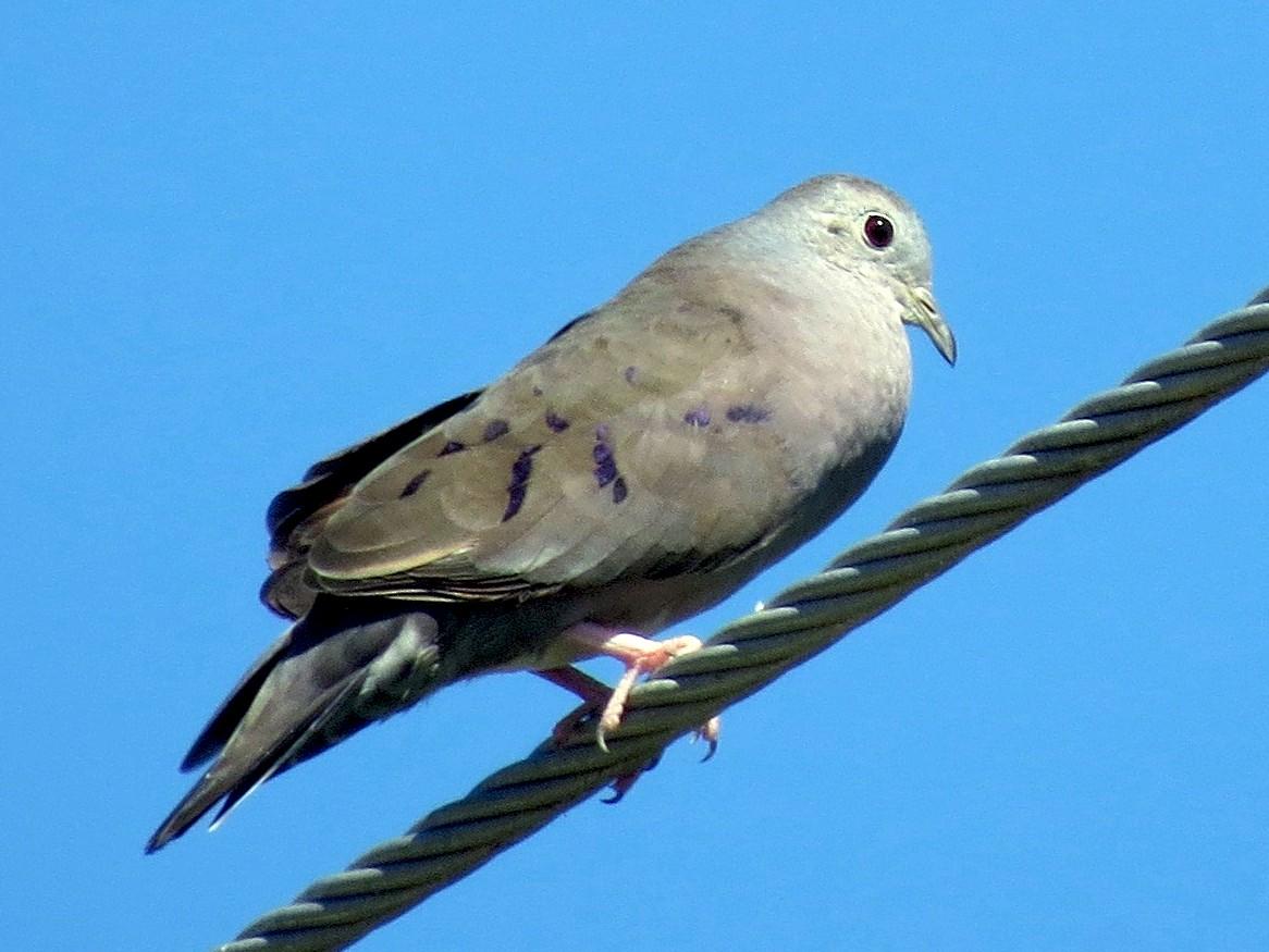 Plain-breasted Ground Dove - John van Dort
