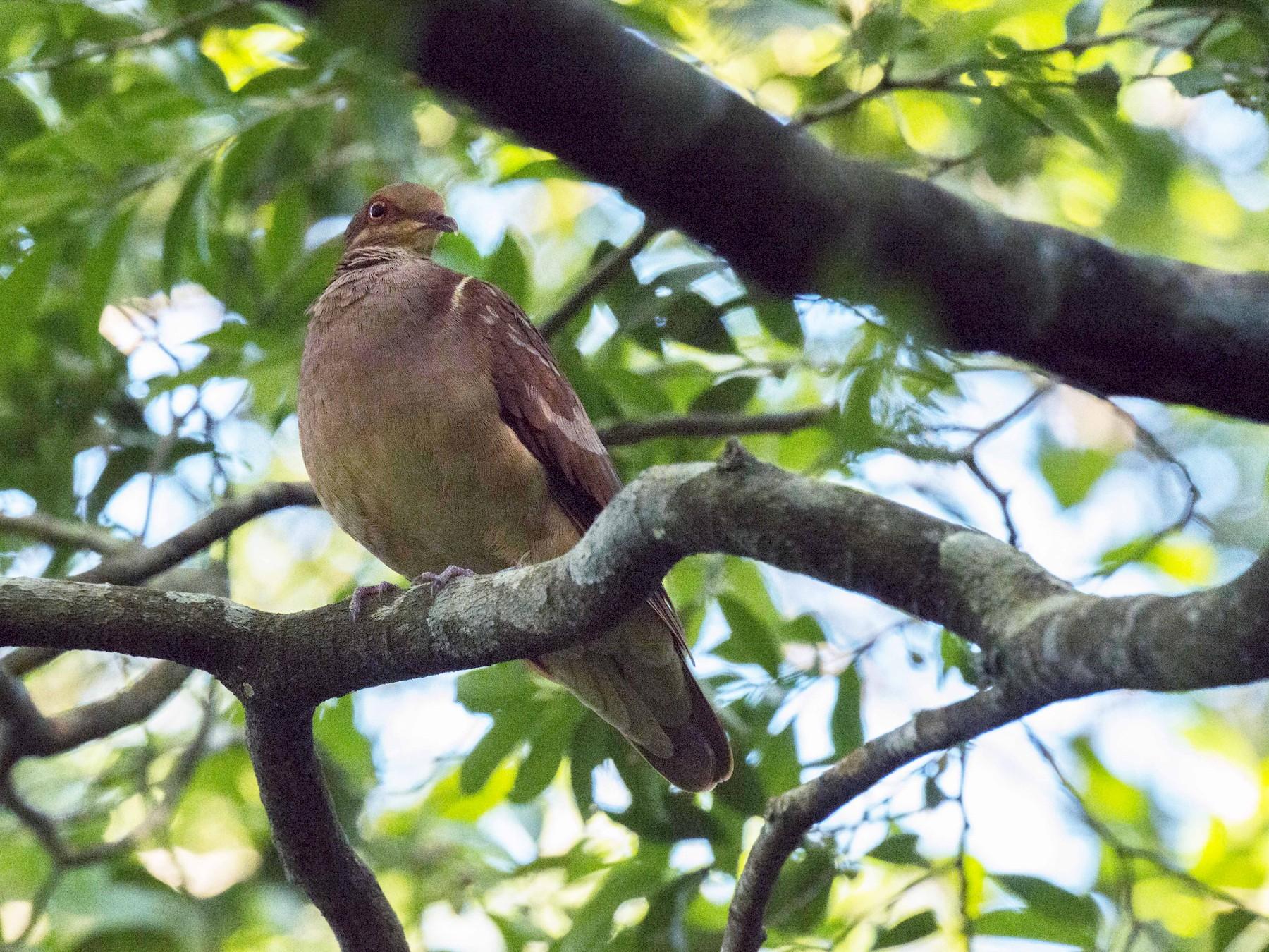 Ruddy Quail-Dove - Elisabet Jané Camacho