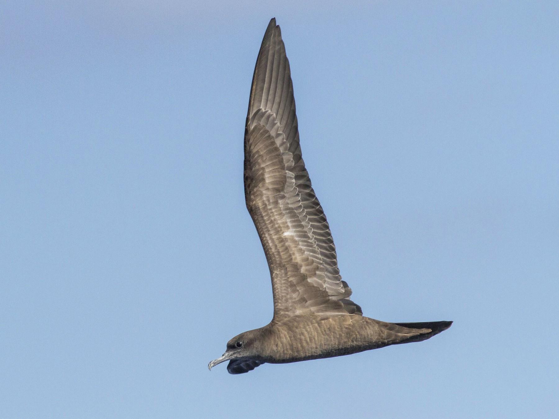 Wedge-tailed Shearwater - Jacob Drucker