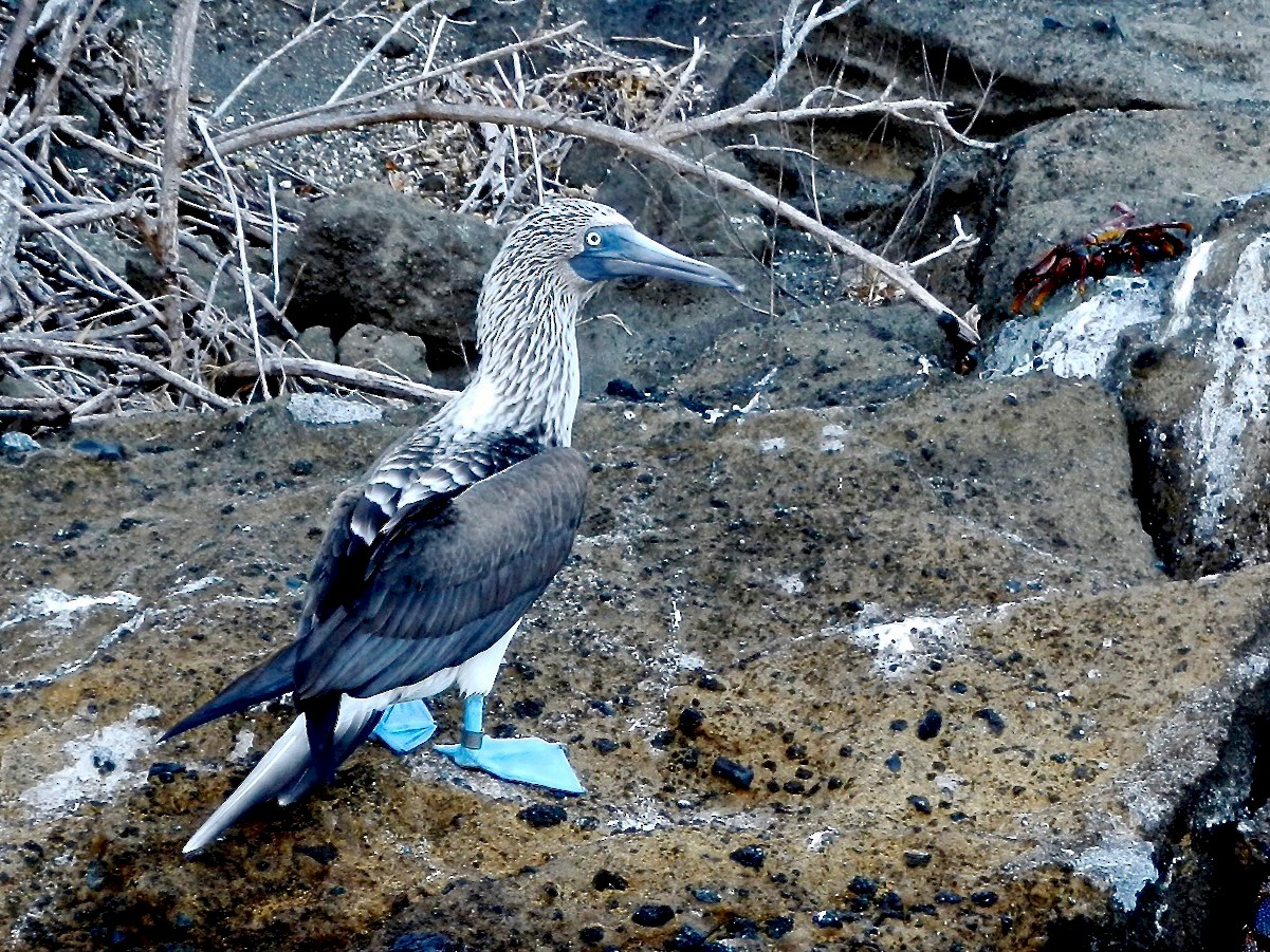 Blue-footed Booby - Michael Warner