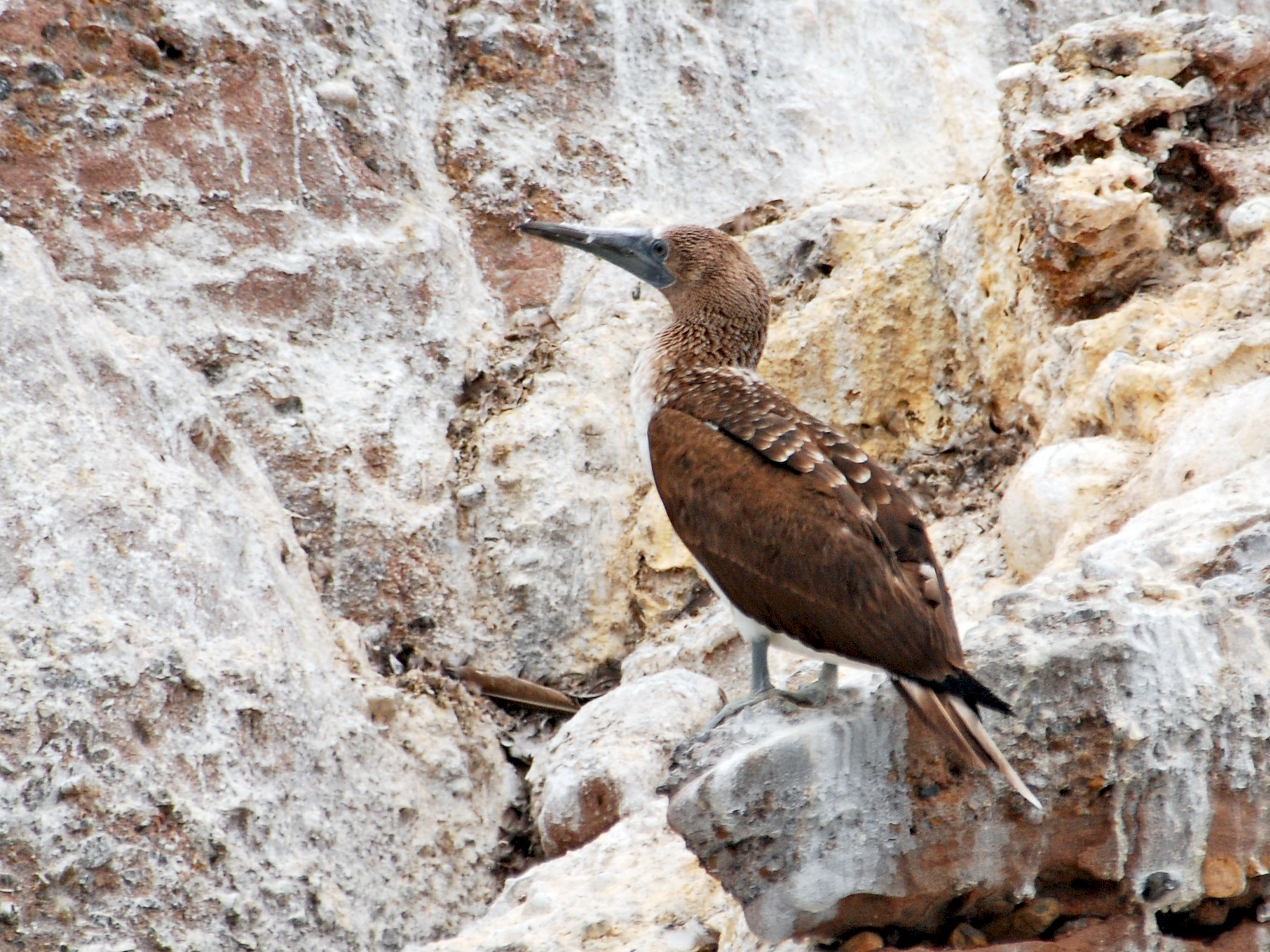 Blue-footed Booby - Ryan O'Donnell