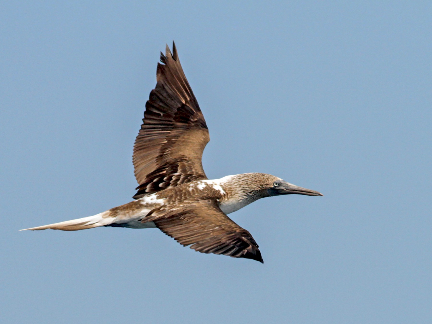 Blue-footed Booby - Ian Davies