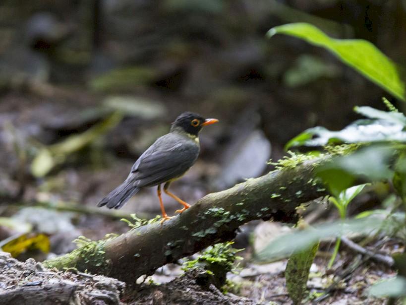 Spotted Nightingale-Thrush - Michael Todd