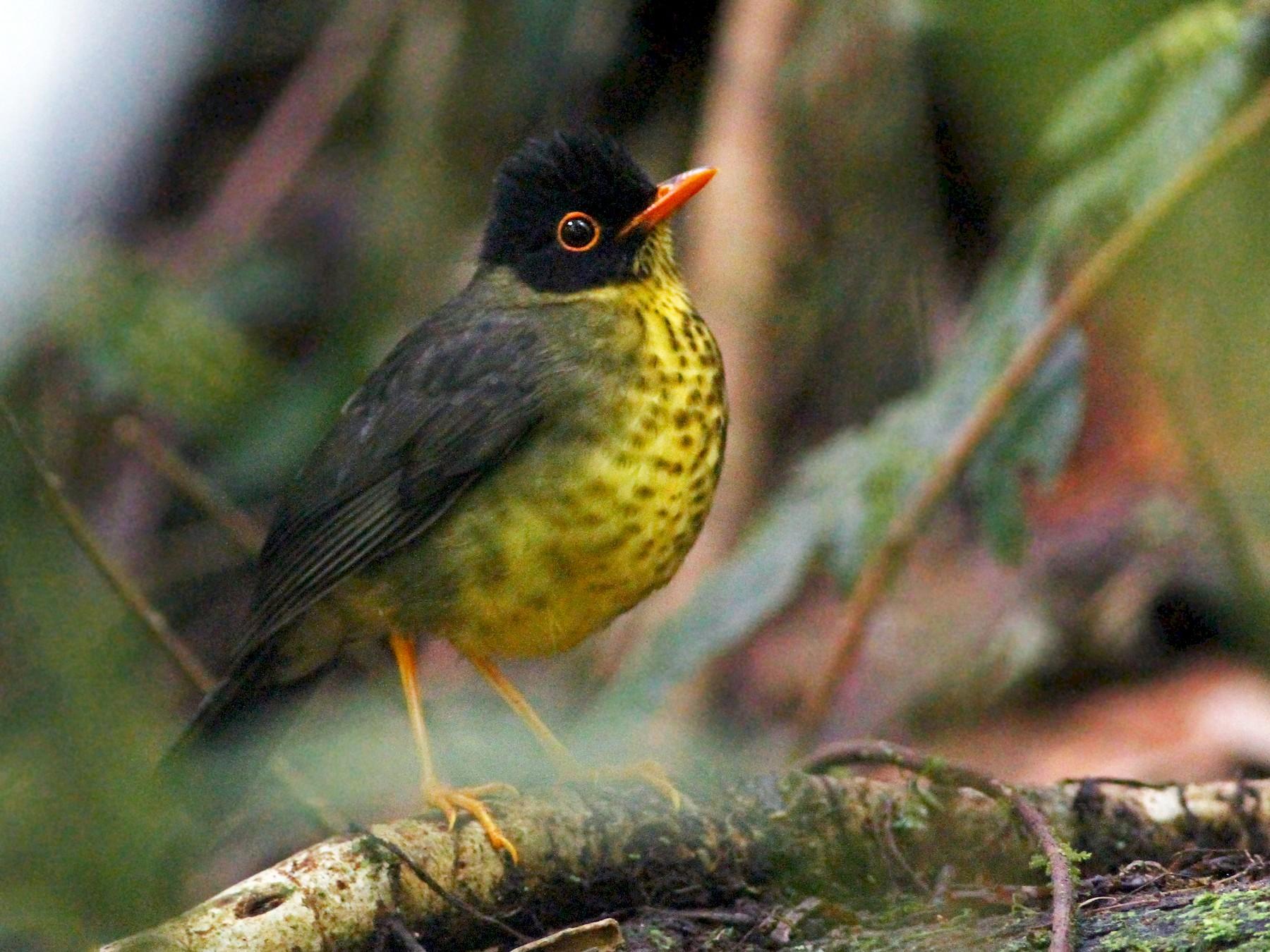 Spotted Nightingale-Thrush - Andrew Spencer