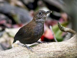 - Nightingale Wren