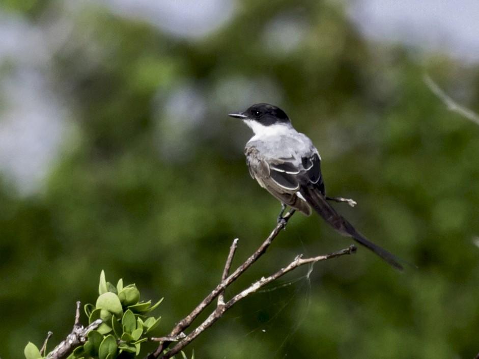 Fork-tailed Flycatcher - Alvaro Cervera