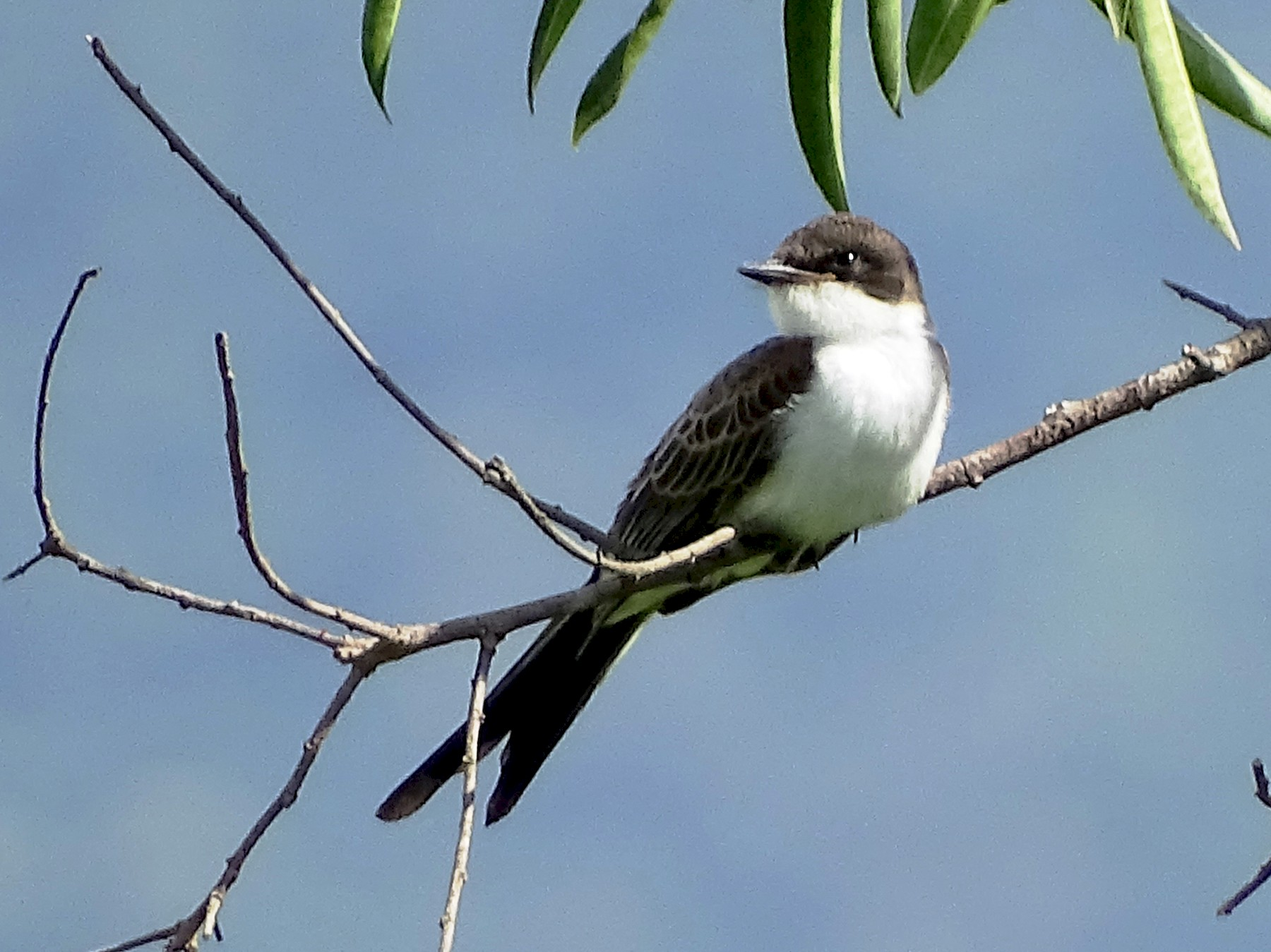 Fork-tailed Flycatcher - BERNARDO SAYUS
