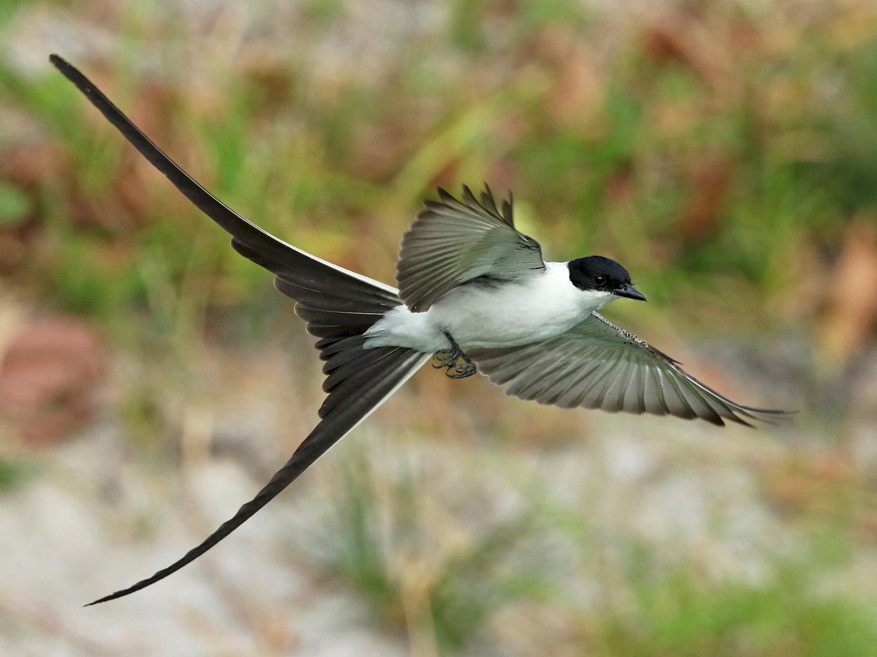 Fork-tailed Flycatcher - Luke Seitz