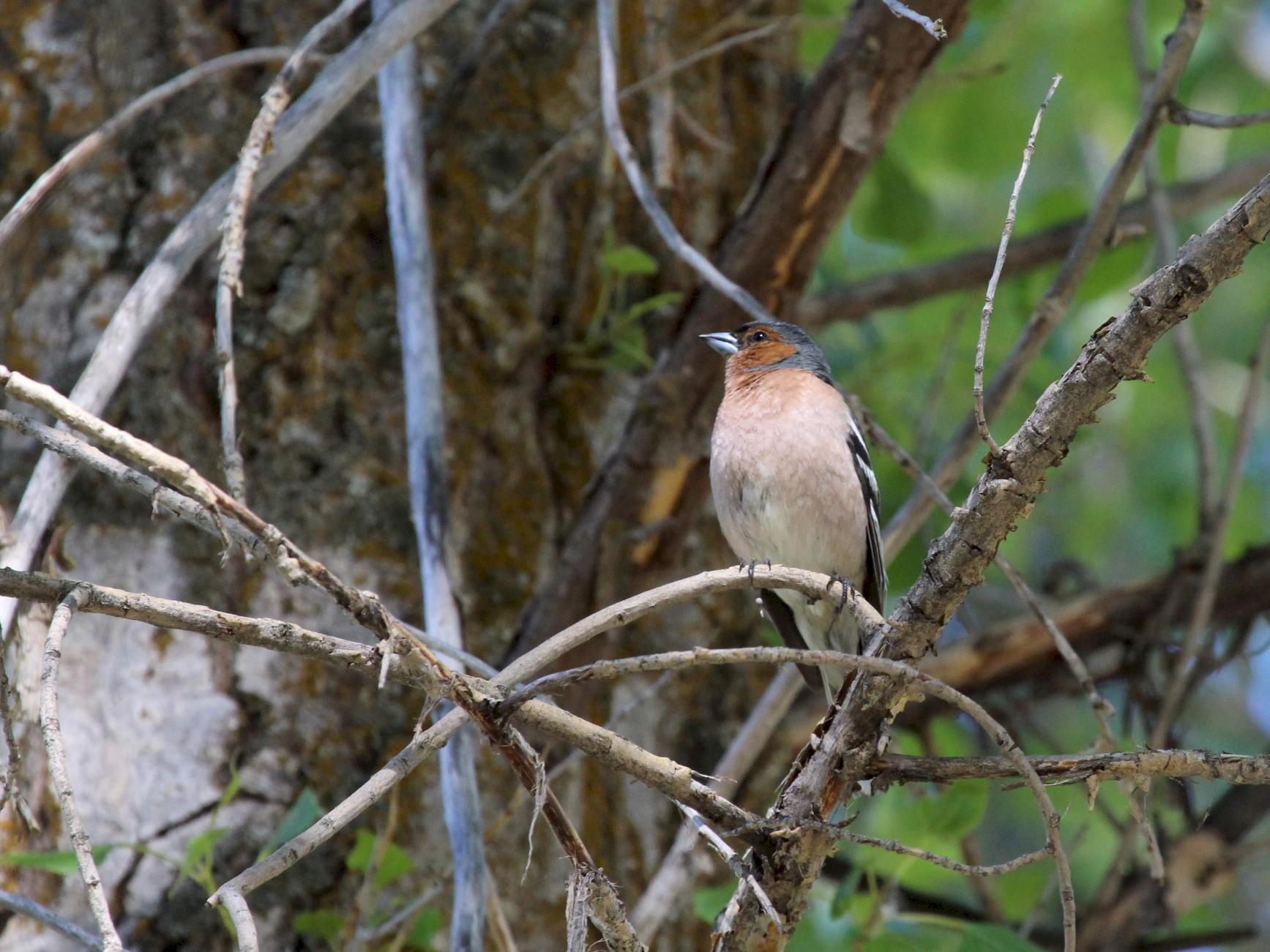 Common Chaffinch - aytekin yaşar