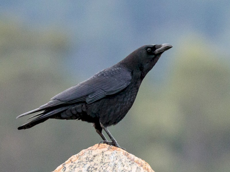 Carrion Crow - Luis Rodrigues