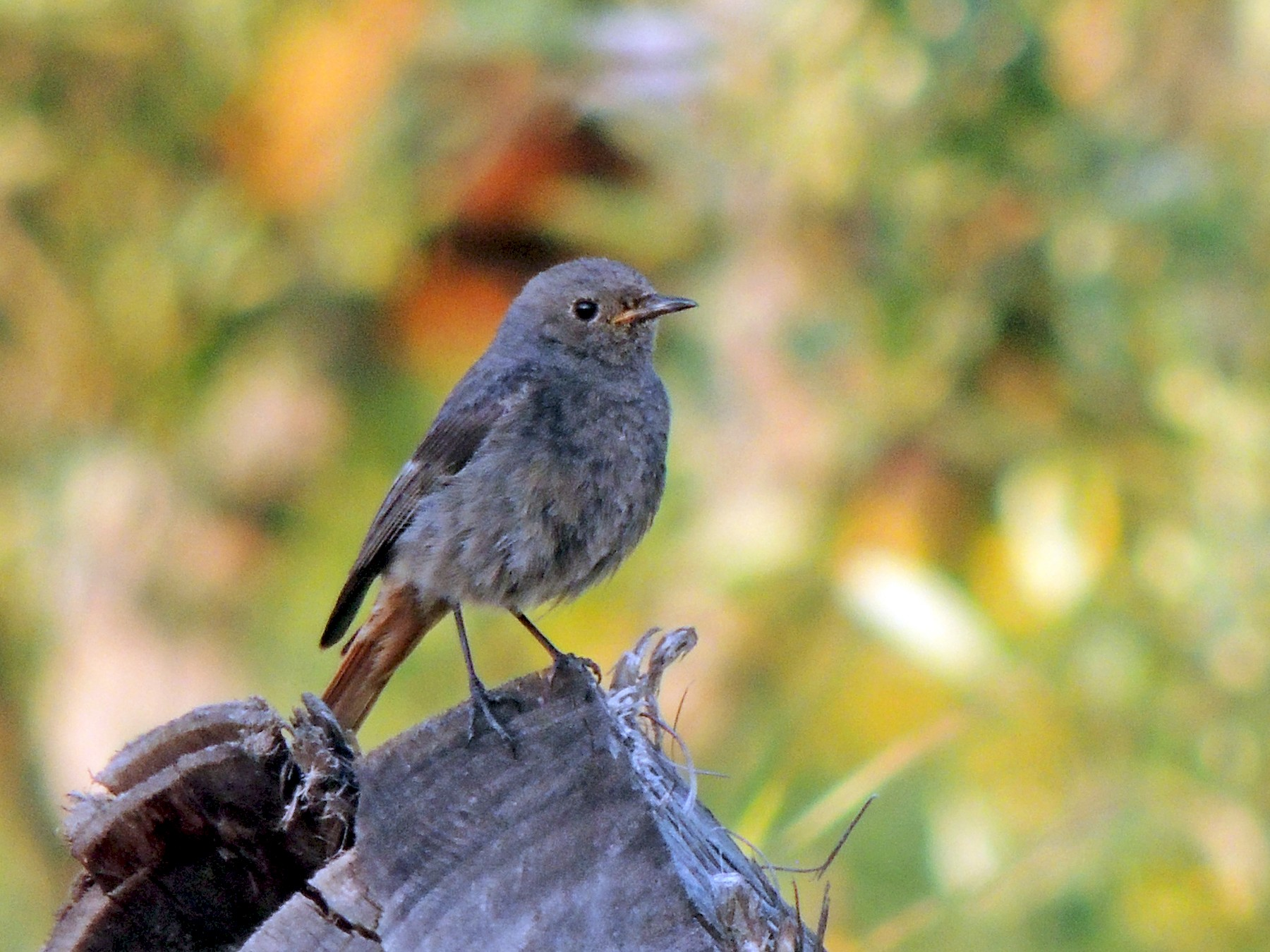 Black Redstart - Fábio Matos