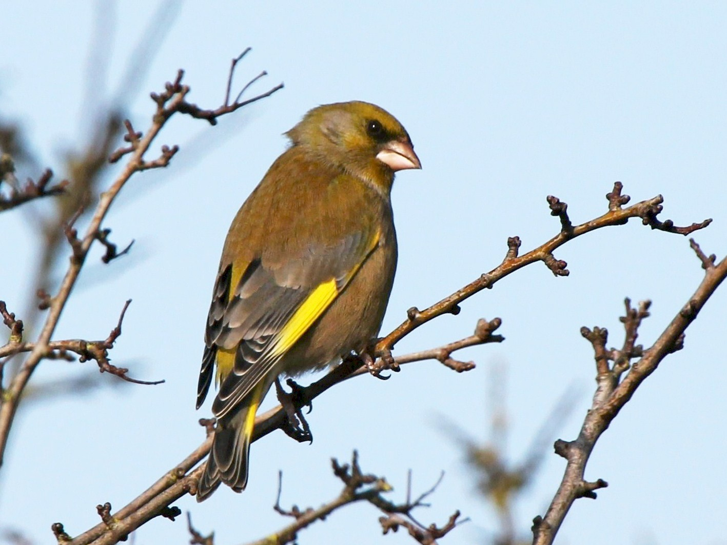 European Greenfinch - Paul Chapman