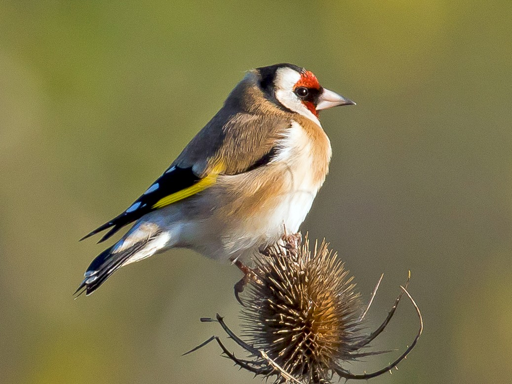 European Goldfinch - John Reynolds