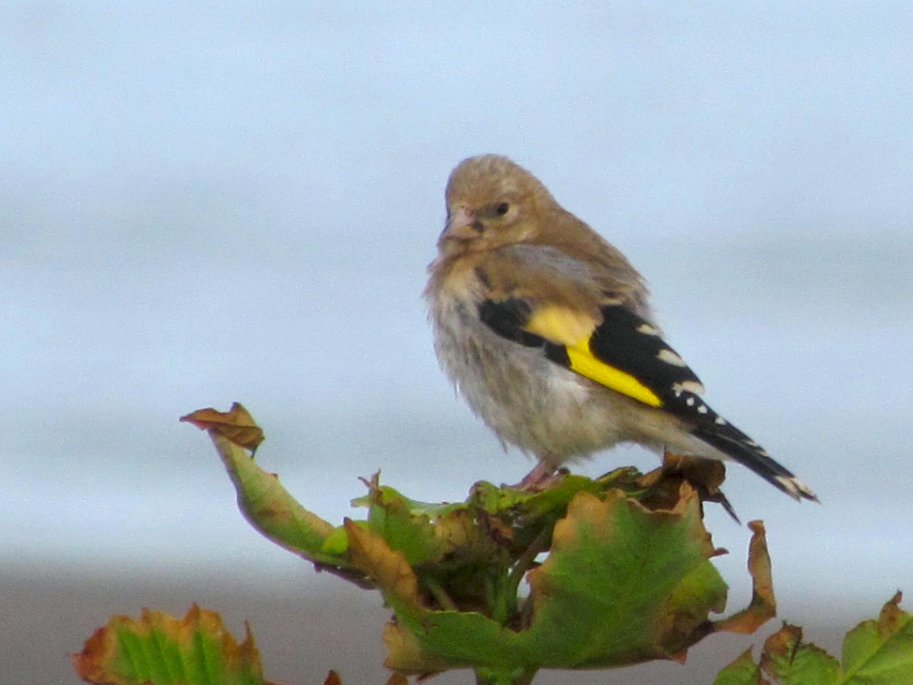 European Goldfinch - Bruce  Kerr