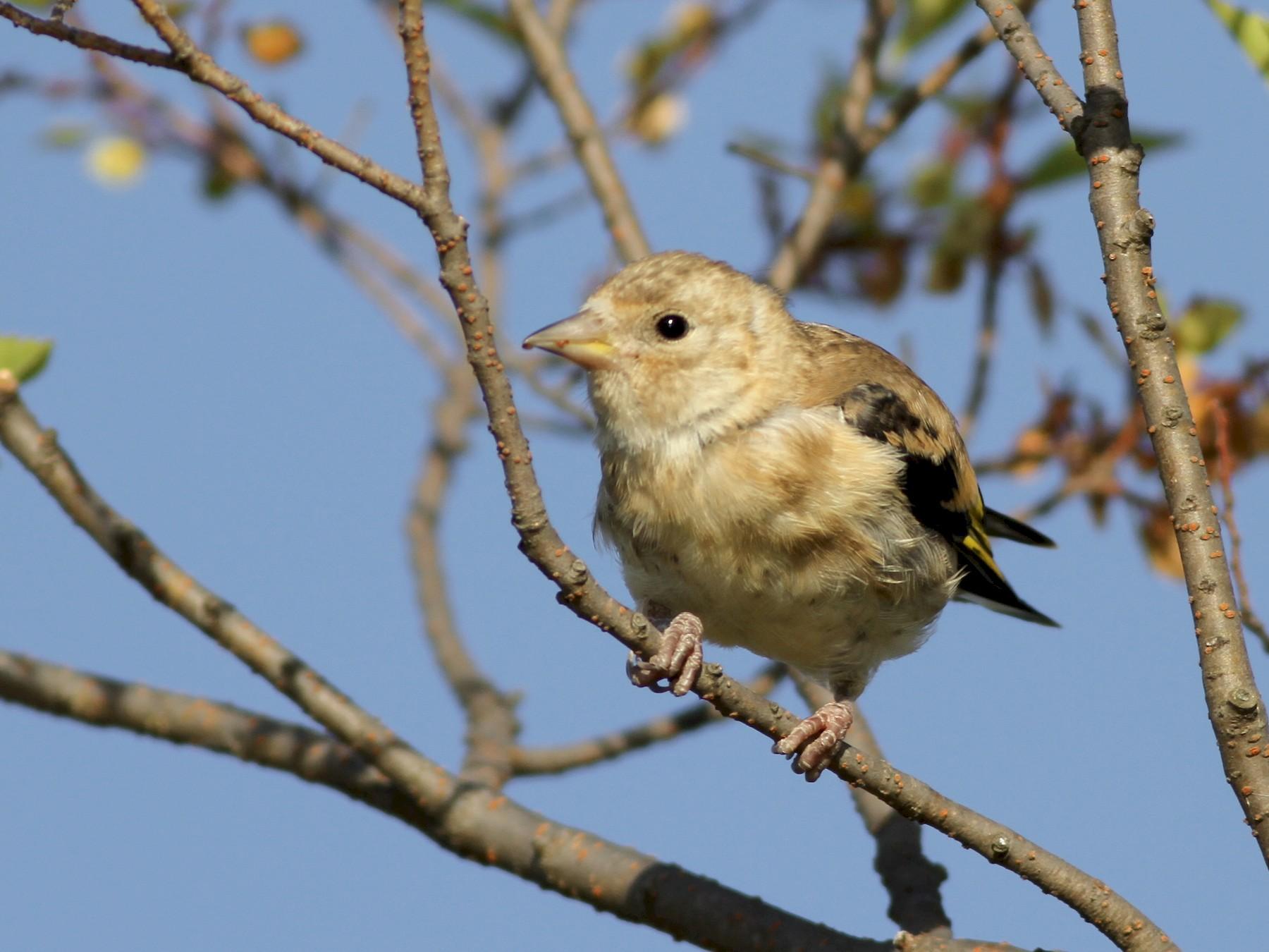 European Goldfinch - Chris Wiley