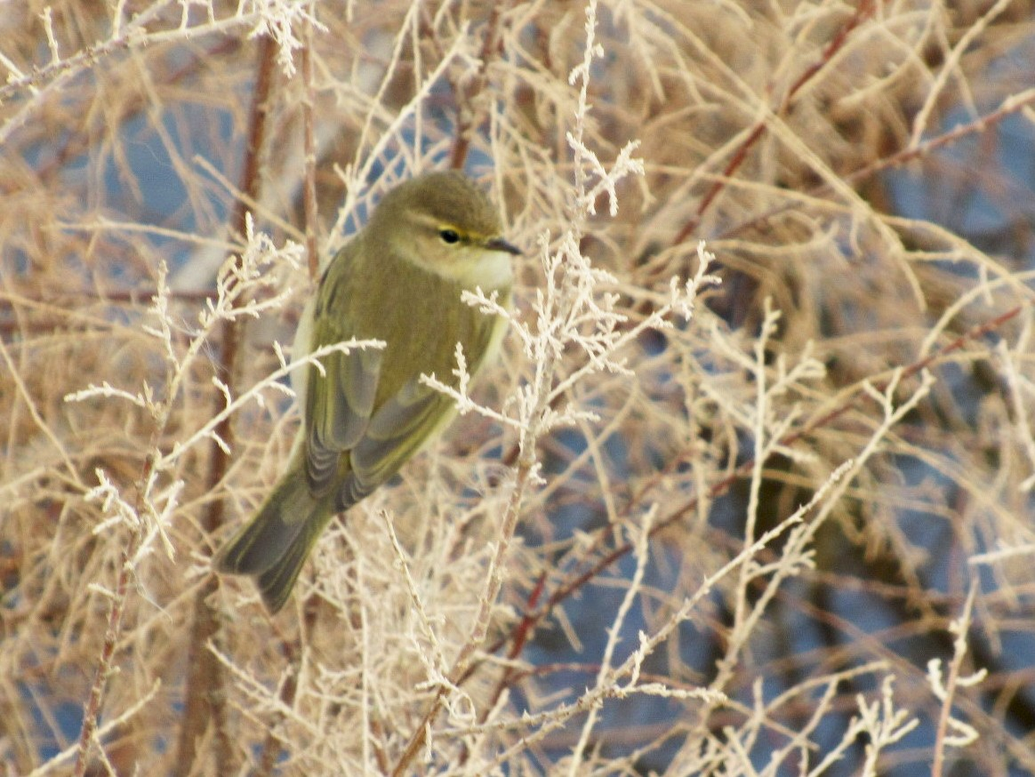 Common Chiffchaff - Mark Chao